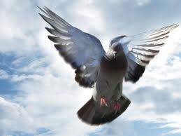 pigeon fly
